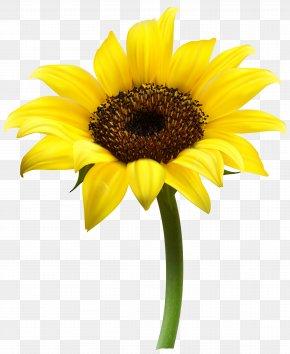 Beautiful Sunflower Transparent Clip Art Image - Common Sunflower Clip Art PNG