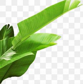 Banana Leaves - Banana Leaf PNG
