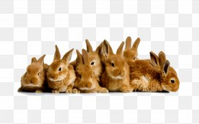 Rabbit - Domestic Rabbit Easter Bunny Guinea Pig Desktop Wallpaper PNG