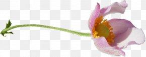 Tulip - Tulip Cut Flowers Blume Petal PNG