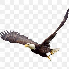 Bald Eagle Image - Bald Eagle Fauna Beak Wildlife PNG