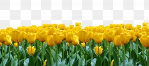 Tulip Flowers - Tulip Flower Download PNG