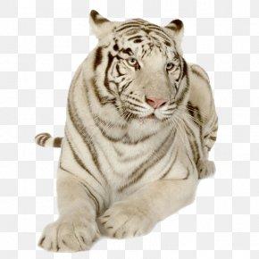 Tiger - Tibetan Mastiff Bengal Tiger Sumatran Tiger Siberian Tiger Lion PNG