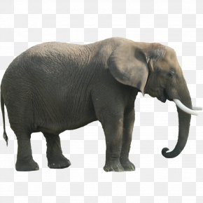 Elephant Clipart - Indian Elephant African Forest Elephant PNG