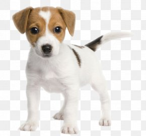 Puppy - Jack Russell Terrier Parson Russell Terrier Miniature Fox Terrier Bull Terrier PNG