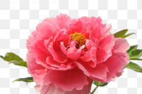 National Flower Peony - Luoyang Carnation Floral Emblem National Flower Of The Republic Of China PNG