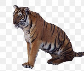 Tiger - Tiger Lion Animal PNG