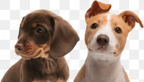 Bolognese Dog - Dachshund Puppy Dog Collar Pet PNG
