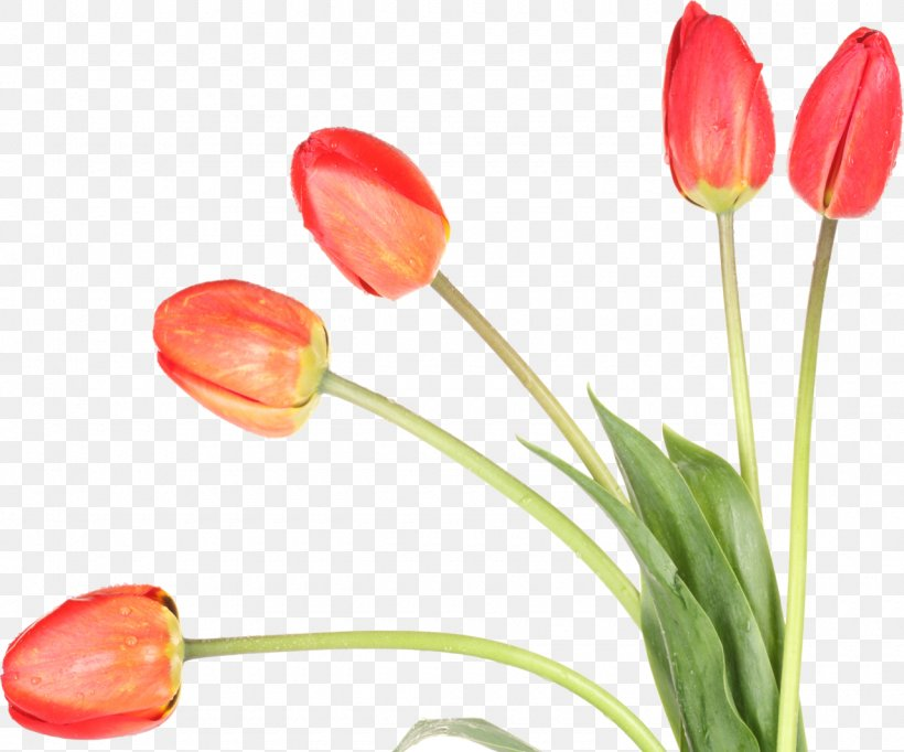 21+ Tulip Wallpaper Png Gif