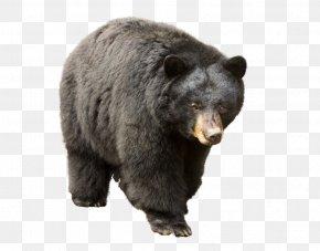 Bear - Florida Black Bear Cougar Polar Bear Louisiana Black Bear PNG