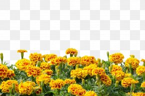 Marigold Flower - Mexican Marigold Calendula Arvensis Royalty-free Photography PNG