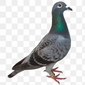 Pigeon Image - Columbidae Resident Evil 7: Not A Hero PNG