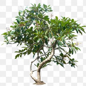Jungle Tree File - Populus Nigra Tree Plant Plumeria Rubra PNG