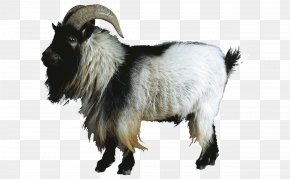 Goat Animal - Sheep–goat Hybrid Sheep–goat Hybrid Cattle PNG