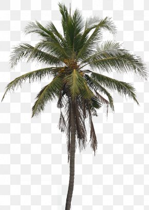 Coconut Tree Pic - Coconut Tree Arecaceae Clip Art PNG