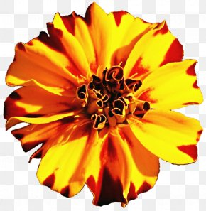 Marigold - Mexican Marigold Flower Tagetes Lucida Annual Plant Clip Art PNG