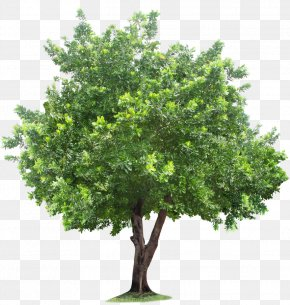 Tree - Tree Root PNG