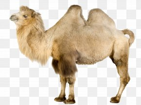 Camel - Wild Bactrian Camel Dromedary Llama Wallpaper PNG