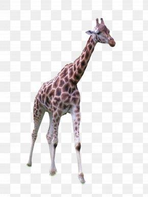 Giraffe Standing Front - Africa Northern Giraffe Grassland PNG