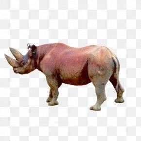 Rhino Grazing - White Rhinoceros Animal Wildlife Black Rhinoceros PNG