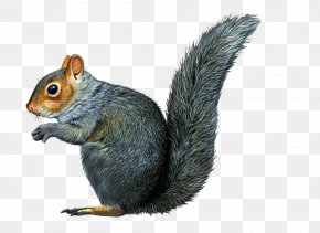 Squirrel - Eastern Gray Squirrel Raccoon Chipmunk Illustration PNG