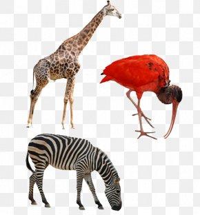 Zebra Animal - Northern Giraffe Okapi Rhinoceros Deer Horses PNG