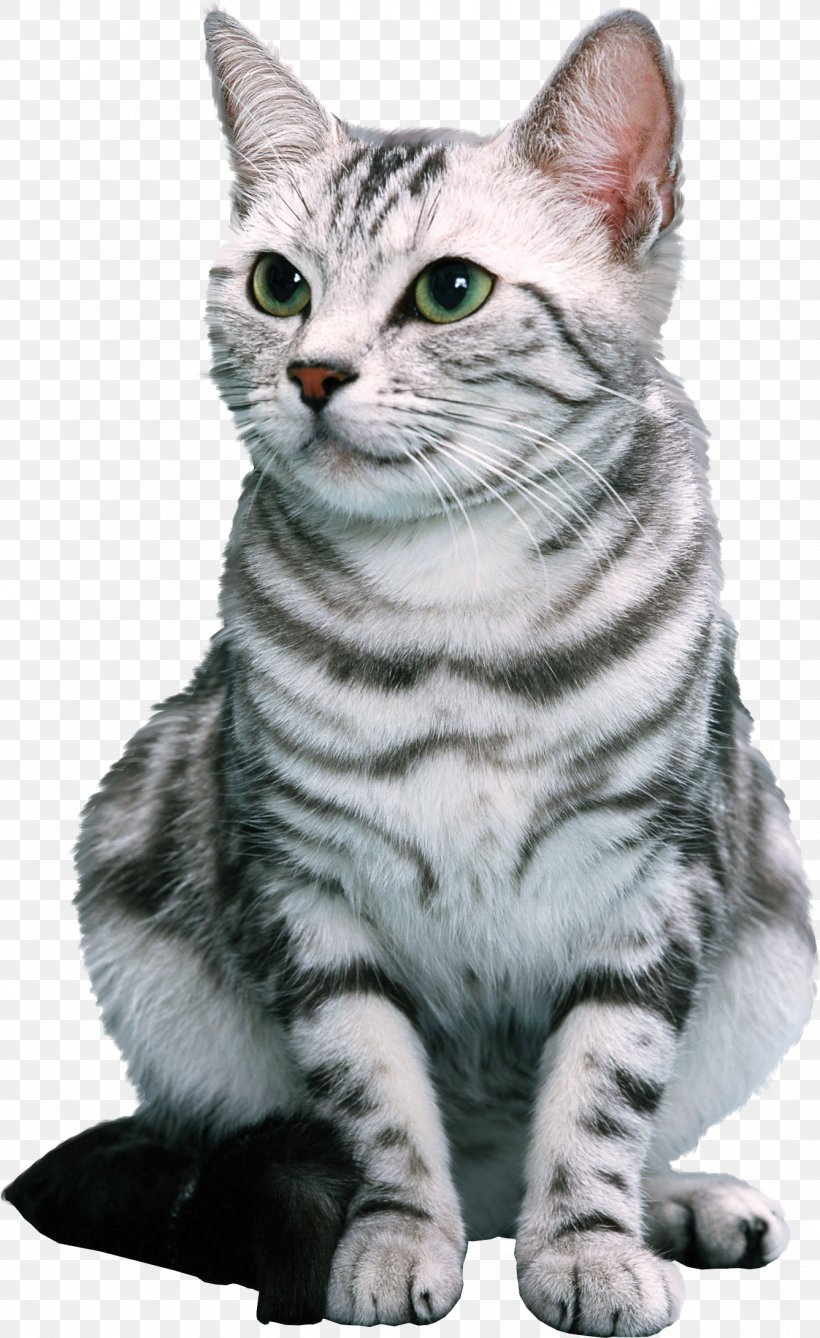 Cat Litter Trays Pet Ferret Chinchilla, PNG, 1337x2182px, Cat, Aegean Cat, American Shorthair, American Wirehair, Animal Download Free