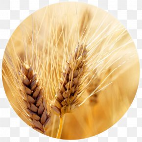 Wheat - Wheat Cereal Harvest Grain Crop PNG