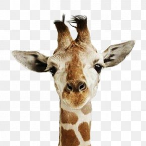 Giraffe Head - United States Happiness Love Names Of The Days Of The Week PNG