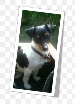 Jack Russel - Jack Russell Terrier Dog Breed Miniature Fox Terrier Toy Fox Terrier Rat Terrier PNG