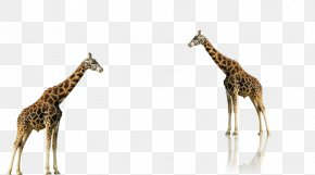 Cute Giraffe - Lion Animal Northern Giraffe PNG