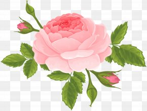 Pink Rose With Buds Clip Art Image - Garden Roses Centifolia Roses Clip Art PNG