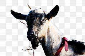 Mountain Goat Horn - Goat Goats Goat-antelope Cow-goat Family Feral Goat PNG