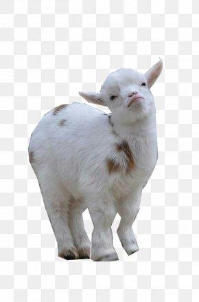 Dwarf - Nigerian Dwarf Goat Sheep American Lamancha Goat Pygmy Goat Cattle PNG