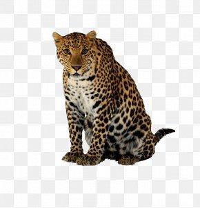 Crouching Leopard - Cheetah Leopard Jaguar Felidae PNG