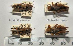 Grasshopper - Insect Pollinator Scale Models Invertebrate PNG