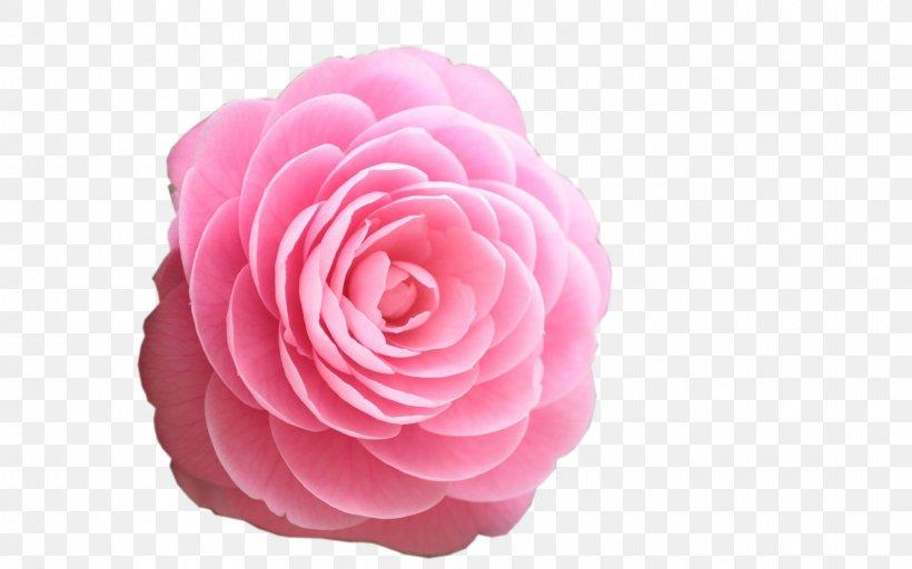 Rose Flower Desktop Wallpaper Pink High Definition