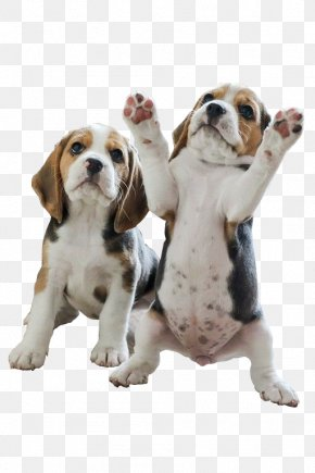 Two Stood Puppy - Pocket Beagle Puppy Your Beagle Beagles PNG