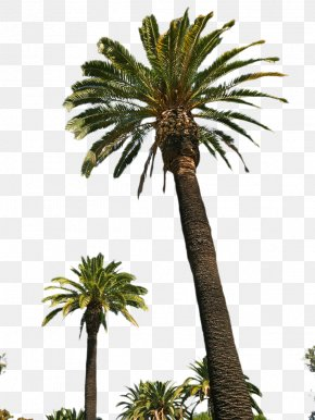 Palm Tree Picture - Asian Palmyra Palm Attalea Speciosa Date Palm Oil Palms Arecaceae PNG