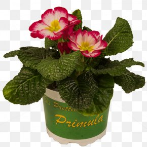 Red Pot - Primrose Flowerpot Cut Flowers Magenta Potplantenkwekerij Nico Van Os PNG