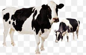Cute Cow - Holstein Friesian Cattle Highland Cattle Murrah Buffalo Beef Cattle Livestock PNG