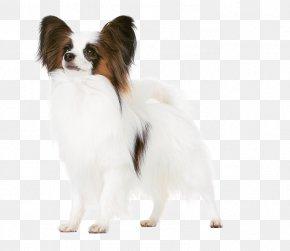 Puppy - Papillon Dog Phalène Puppy Dog Breed Companion Dog PNG