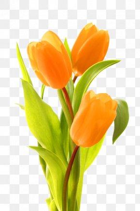 Tulip - Keukenhof Indira Gandhi Memorial Tulip Garden Bouquet Of Tulips Flower Bouquet PNG