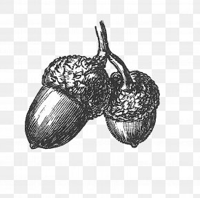 Acorn Drawing - Drawing White Oak Acorn Clip Art PNG