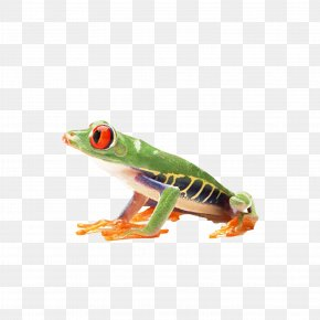 A Tree Frog - True Frog Amphibian Reptile Red-eyed Tree Frog PNG