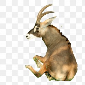 Sitting Goat - Sheep Goat Horn Cattle PNG