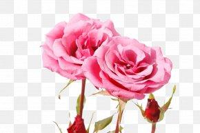 Beautiful Pink Rose - Garden Roses Centifolia Roses Beach Rose Pink Petal PNG