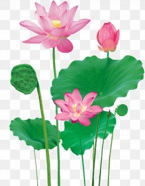 Lotus - Lotus Pond Nelumbo Nucifera PNG
