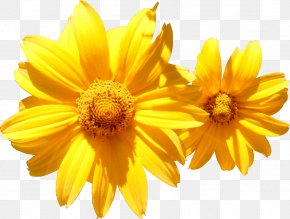 Camomile - Calendula Officinalis Flower Marigold Orange Photography PNG