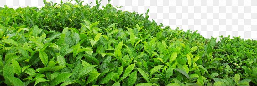 Green Tea Leaf Png 1429x480px Tea Camellia Sinensis Grass Grass Family Gratis Download Free